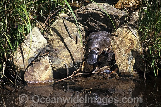 Duck-billed Platypus (Ornithorhynchus anatinus) entering stream from burrow entrance. Platypus are monotremes (egg laying mammals). The male Platypus has venomous spurs located on the inside of their hind legs. Dandenong Ranges, Victoria, Australia Photo - Gary Bell