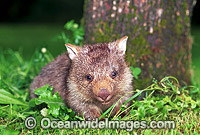 Baby Common Wombat Vombatus ursinus Photo - Gary Bell