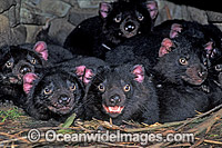 Den of Tasmanian Devil cubs Sarcophilus harrisii photo