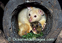 Common Brushtail Possum Trichosurus vulpecula photo