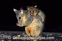 Common Brushtail Possum mother with baby photo