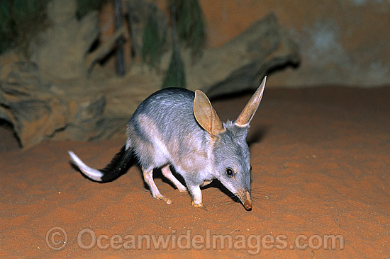 Greater Bilby (Macrotis lagotis). Eastern Australia.The Bilby formerly occurred over 70% of mainland Australia but now classified Vulnerable on the IUCN Red List. Rare and Endangered species.