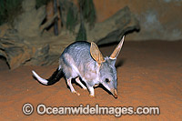 Greater Bilby Macrotis lagotis photo