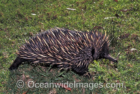 Short-beaked Echidna (Tachyglossus aculaetus). Echidnas are egg laying mammals. Eastern Australia Photo - Gary Bell