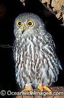 Barking Owl Ninox connivens Photo - Gary Bell