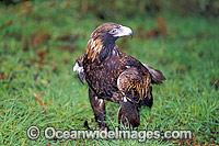 Wedge-tailed Eagle Aquila audax photo