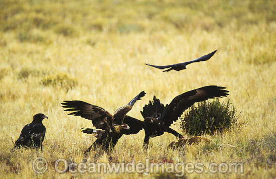 Wedge-tailed Eagles (Aquila audax) feeding on red Kangaroo carcass. Photo taken in Central Australia. Photo - Gary Bell