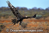 Wedge-tailed Eagle in flight photo