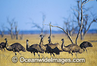 Flock of Emus Photo - Gary Bell