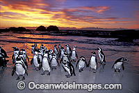 African Penguins Spheniscus demersus Photo - Gary Bell