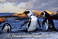 African Penguins Jackass Penguins image