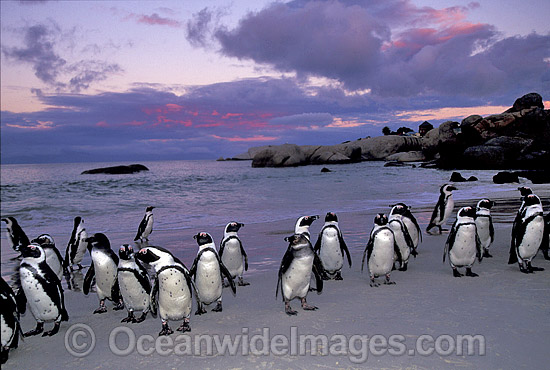 African Penguins (Spheniscus demersus) returning to nesting beach at sunset, after fishing at sea. Also known as Jackass Penguins. Boulder Beach, South Africa Photo - Gary Bell