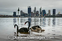 Black Swans Perth Photo - Gary Bell