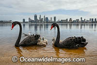 Perth and Black Swans Photo - Gary Bell