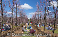 Walliston Blossom Festival Perth Photo - Gary Bell