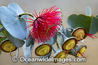 Mallee Rose Eucalyptus wildflower Photo - Gary Bell