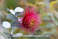 Rose of the West wildflower Photo - Gary Bell
