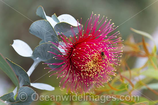 Rose of the West wildflower (Eucalyptus macrocarpa). Northern Heathlands, Western Australia. Photo - Gary Bell