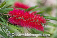 Pink Ice Bottlebrush wildflower Photo - Gary Bell
