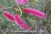 Pink Pokers Grevillea wildflower Photo - Gary Bell