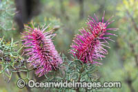 Bottlebrush Gevillea wildflower Photo - Gary Bell