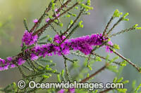 Corky Honeymyrtle wildflower Photo - Gary Bell