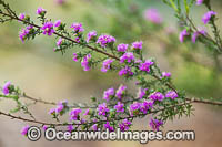 Kunzea wildflower Photo - Gary Bell