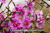 Swan River Myrtle wildflower Photo - Gary Bell