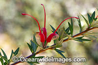Grevillea wildflower Photo - Gary Bell