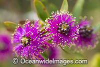 Melaleuca wildflower Photo - Gary Bell