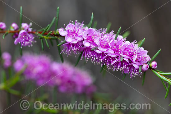 Swan River Myrtle wildflower (Hypocalymma robustum). South-west region, Western Australia. Photo - Gary Bell