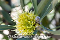 Ashy Hakea wildflower Photo - Gary Bell