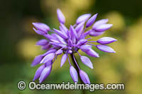 Purple Tassel wildflower Photo - Gary Bell