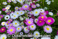 Pink Paper-daisy wildflower Photo - Gary Bell