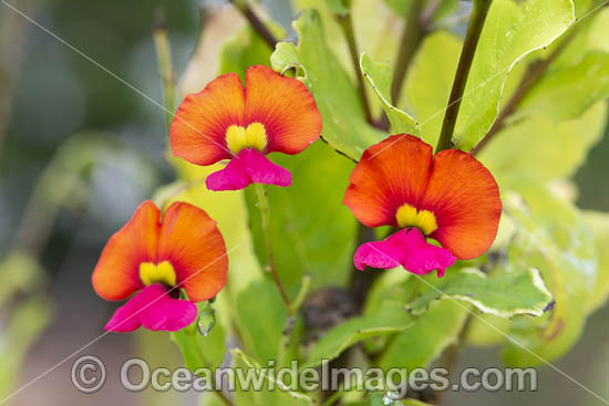 Heart-leaf Flame Pea wildflower (Chorizema cordatum). Swan Coastal Plain, Western Australia. Photo - Gary Bell