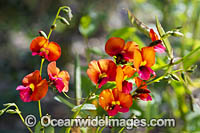 Heart-leaf Flame Pea wildflower Photo - Gary Bell