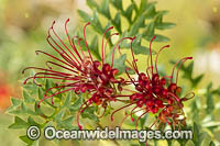 Fuchsia Grevillea wildflower Photo - Gary Bell