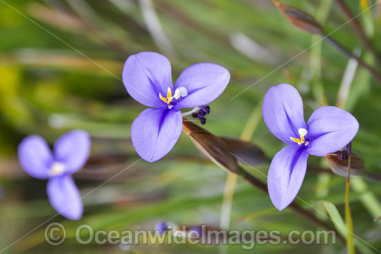 Woolly Patersonia wildflower (Patersonia lanata). South-west region, Western Australia. Photo - Gary Bell