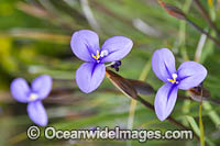Woolly Patersonia wildflower Photo - Gary Bell