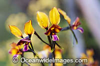 Donkey Orchid wildflower Photo - Gary Bell