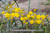 Goldern Wattle wildflower Photo - Gary Bell