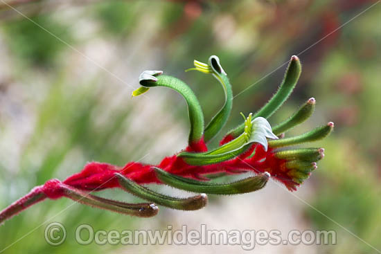 Mangles Kangaroo Paw (Anigozanthos manglesii). South-west region, Western Australia. Photo - Gary Bell