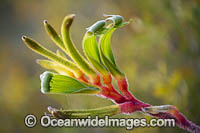 Anniversary Gold Kangaroo Paw Photo - Gary Bell