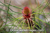 Petrophile wildflower Photo - Gary Bell