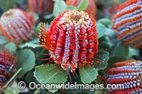 Scarlet Banksia wildflower Photo - Gary Bell