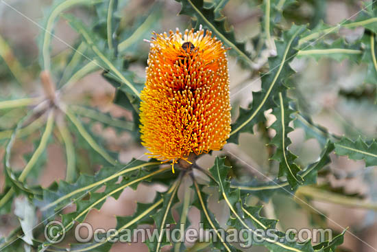 Audax Banksia wildflower (Banksia audax). Southern Heathlands and Mallee, Western Australia. Photo - Gary Bell