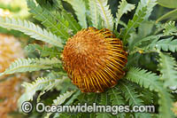 Formosa Banksia wildflower Photo - Gary Bell