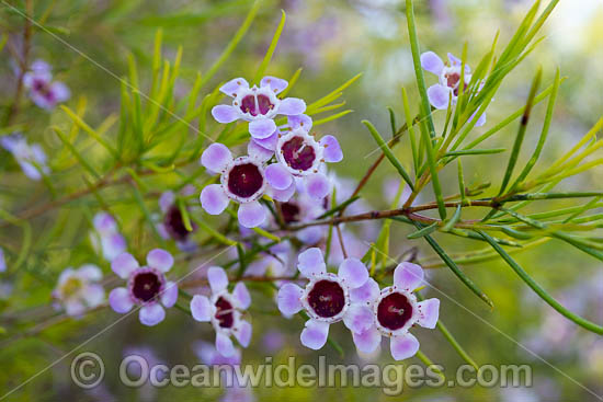 Geraldton Wax wildflower (Chamelaucium uncinatum). Northern Heathland, Western Australia. Photo - Gary Bell