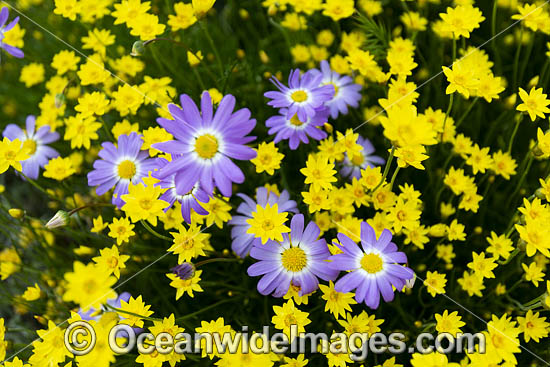 Swan River Daisy wildflower (Brachyscome iberidifolia), amongst Showy Everlasting wildflower (Schoenia filifolia subsp. subulifolia). Western Australia. Photo - Gary Bell