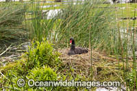 Black Swan on nest Photo - Gary Bell